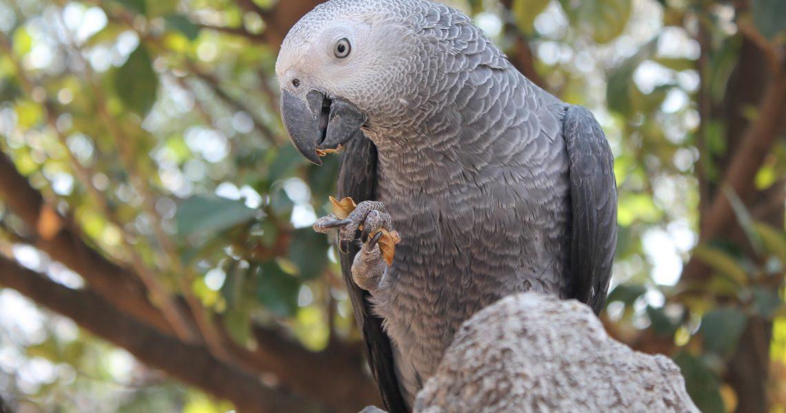 """Sir Parrot"", papagalul care și-a pierdut accentul"
